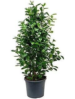 Zimmerpflanzen Für Sonnige Standorte kentiaplame 140 170 cm im 27 cm topf große zimmerpflanze sonniger