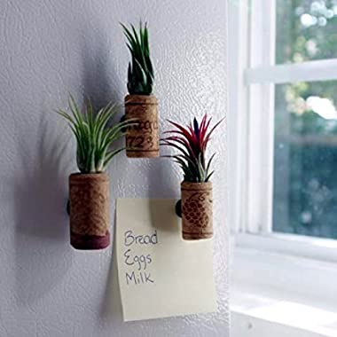 3 Pack of Magnetic Wine Cork Planters with Air Plants - Free Shipping for Air Plant Shop orders over $45 - Air Plant Variety