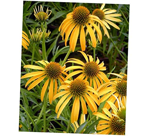 (VERR Echinacea Mango New Unique Coneflower 4