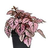 Hypoestes phyllostachya, Confetti, Polka Dot Plant