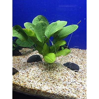 Echinodorus horizontalis Bundle Aquatic Plant B049 ~ BUY 2 GET 1 FREE : Garden & Outdoor