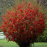 Red Flowering Quince - 3 Gallon