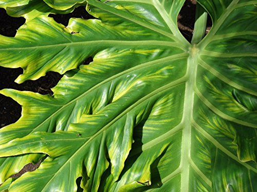 - New Lacy TREE PHILODENDRON Split Leaf Cut-leaf Selloum House Plant Flower 15+ Seeds