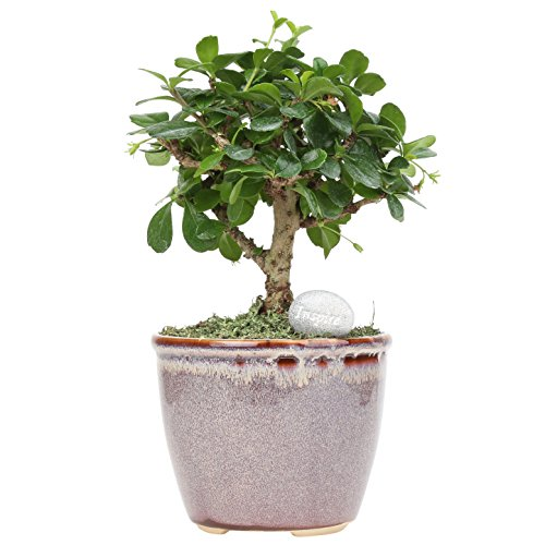 Costa Farms Mini Bonsai Ficus Fukien Tea Live Indoor Tree with Inspirational Message in Mocha Home Décor-Ready Ceramic Planter, Great Gift (Best Air Cleaning Plants)