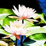 Golden autumn farm Aquatic Plants Water Lily 10