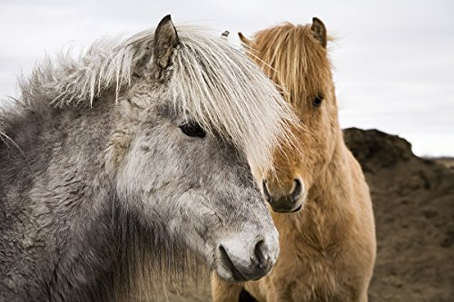 Icelandic horse. South Iceland. 30x40 photo reprint by PickYourImage