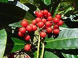 Coral Berry Ardisia crenata Organic 10 Seeds