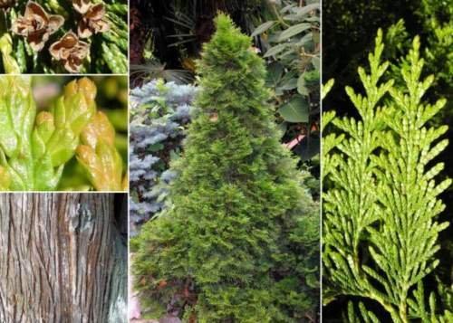 Western Red Cedar. 100 seeds. trees, seeds