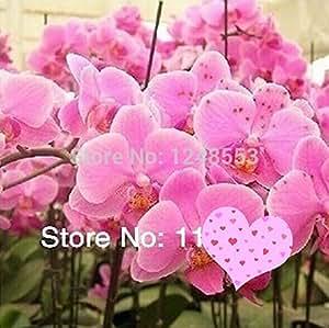semillas 100pcs PHALAENOPSIS + regalos secretos, 24 colores mezclados tipos, semillas de flores, bricolaje planta de los bonsai flor,