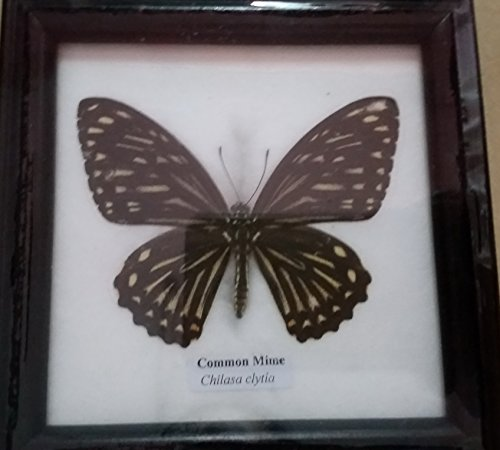 PICTURE FRAMES HOME DECOR Real COMMON MIME Butterfly Framed Taxidermy Entomology Insect Display (Kmart Home Decor)