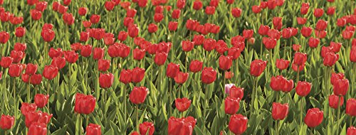 10.5-Feet by 4-Feet JP London MD91129UMBPS Peel and Stick Ultimate Tulip Flower Field Panoramic Wall Mural