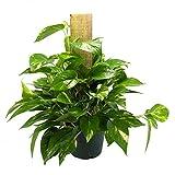 AMERICAN PLANT EXCHANGE Golden Pothos Totem Pole Live Plant 6'' 1 Gallon Indoor Air Purifier