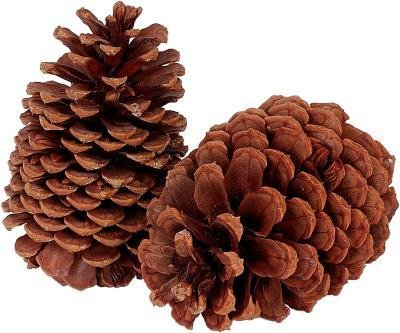 Genuine Oregon Grown Pacific Ponderosa Pine Tree Cones (Box 12 3-4.5 Inch Tall) Christmas Holiday Gift For Indoor Outdoor Home Decor (12)