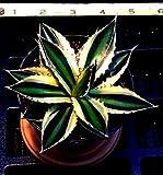 AGAVE LOPHANTHA 'QUADRICOLOR' 4 INCH SUCCULENT PLANT