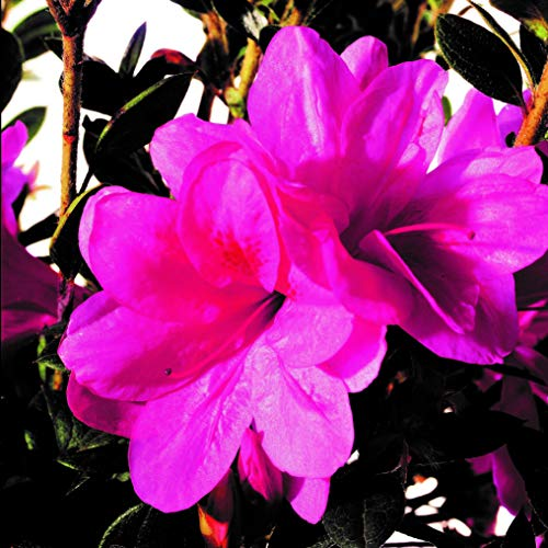 Pink Azalea Plant - 1 Gallon - Encore Azalea Autumn Empress - Re-blooming Evergreen Shrub that features Pink Semi-Double Blooms