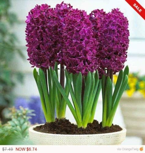 Hyacinth Woodstock,(4 Bulbs) Gorgeous, Violet-red Hyacinth with Rose- - Hyacinth Bulb