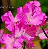 Gemini Kanon Leos Gemini 15pcs Lathyrus Odoratus Seeds Rare Plants Ornamental Plants The Budding Rate 90%
