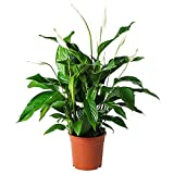 AMPLEX Spathiphyllum Peace Lily Live Plant, 1 Gallon, Clean Air of Toxins