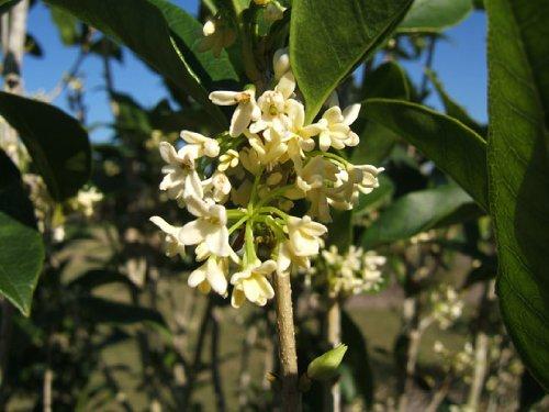 Tea Olive (Osmanthus -