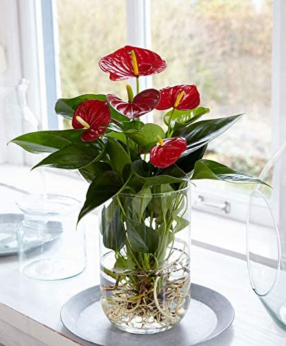 Hauteur 40-45cm Vase en verre Ecoglass /ø 13cm inclus Anthurium Andreanum rouge Plante tropicale fleurie Langue de feu
