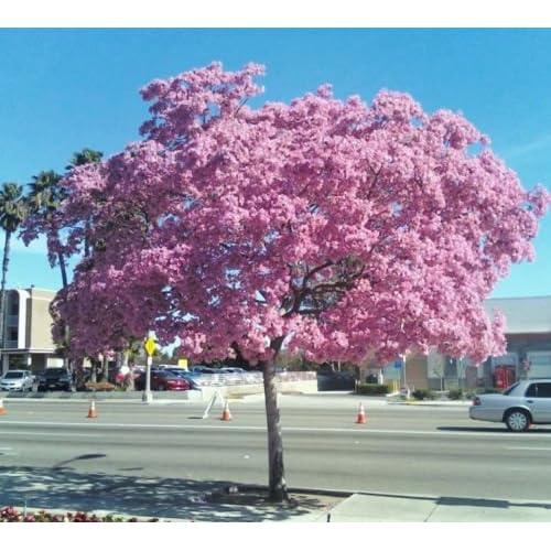 Tabebuia Heterophylla- Pink Trumpet Tree Exotic Flowering White Cedar, 10 Seeds