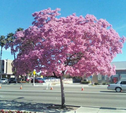 - Tabebuia Heterophylla- Pink Trumpet Tree Exotic Flowering White Cedar, 10 Seeds