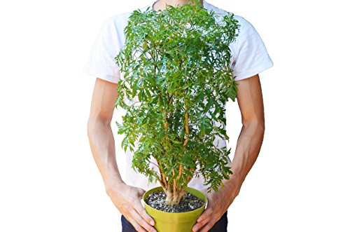 1 Aralia Ming Stump Plant - 6'' Pot - Live House Plant - FREE Care Guide - 2FT Tall! by House Plant Shop