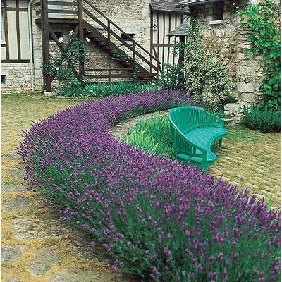 Lavender Seeds, Munstead Lavender, English Lavender, Heirloom Herb Seeds, 50ct : Garden & Outdoor