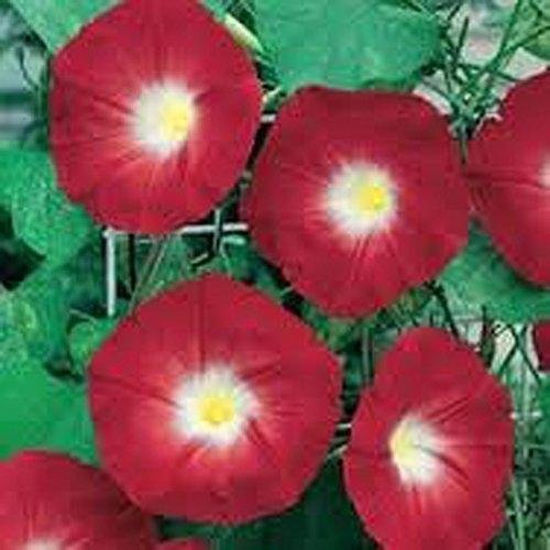 Germinazione O Di Semi Winde O'hara amp; Morning Firm Hara Glory 039; Scarlet Plat qgB6aa