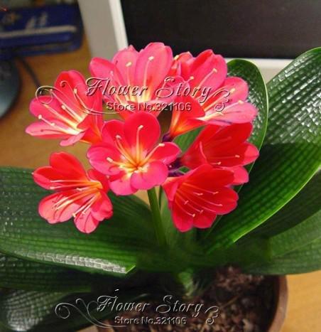 50pcs Cheap Clivia Semi belle piante per balcone Bonsai Seeds fiore raro perenne Kaffir Lily Garden Sementes Decorazione Viola