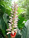 20 Pink Porcelain Lily Seeds, Variegated Ginger, Alpinia zerumbet Seeds,