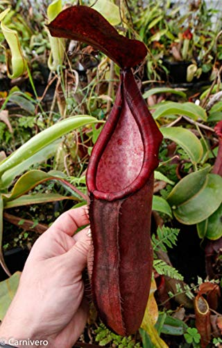 small nepenthes pitcher plant - 1