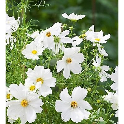Amazon 180 Dwarf White Cosmos Flower Seeds Cosmos