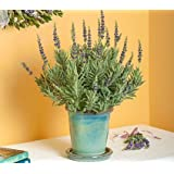 CLOUDBURST Lavendra Fresh Indoor & Outdoor Flower Plant with Pot For Office and Home