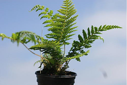 3 Dicksonia antarctica starter plants Bali-Hai Mail Order Nursery