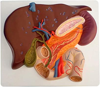 De Hígado y vesícula biliar, pank reas y duodeno: Amazon.es: Salud ...