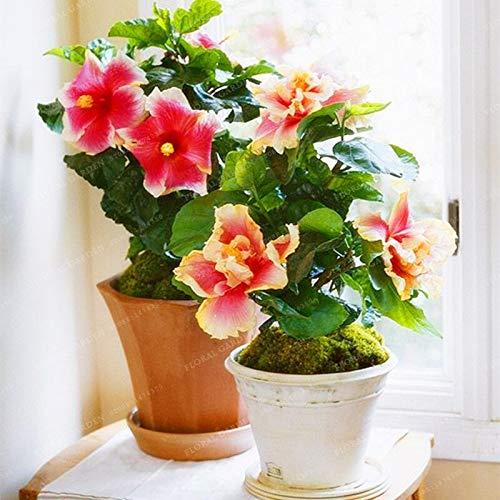 200 Hibiscus Flower Seeds Bonsai Mini Hibiscus Bonsai Flower Bonsai Outdoor Plant Bonsai For Home Garden Easy To Grow Seeds 1 Buy Online In Bahamas At Bahamas Desertcart Com Productid 174059723