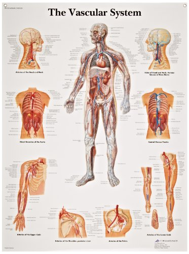 (3B Scientific VR1353L Glossy Laminated Paper The Vascular System Anatomical Chart, Poster Size 20
