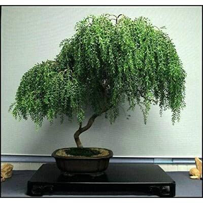 Dwarf Weeping Willow (Bonsai Tree), Live Houseplant Indoor Best Gift: Garden & Outdoor