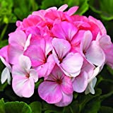 Park Seed Pinto Premium White to Rose Geranium Seeds