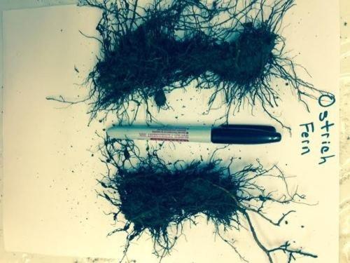 20 OSTRICH GLADE FERN Rhizome/root- (Matteuccia struthiopteris)