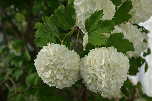 Common Snowball Bush White Flowering 1 Plant in 1 Gallon Pot Live Shrub Bush #GS04 by Gseeds (Image #2)