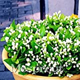 New Arrival Colorful Fragrant Jasmine Seeds ,Jasminum sambac (Linn.) Aiton flower seed - 20PCS Flowering Plants