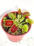 """Venus Fly Trap Plant - CARNIVOROUS - Dionaea - 3"""" Pot"""