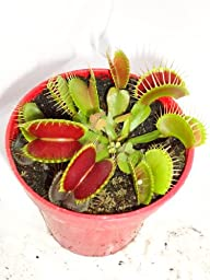 Venus Fly Trap Plant - CARNIVOROUS - Dionaea - 3\