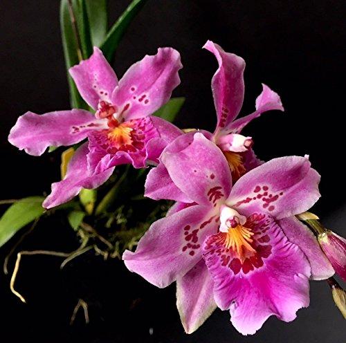 Vuyl. Carnivale 'Rio' Oncidium Orchid 3+ - Oncidium Orchid Care