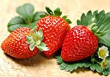 Albion Everbearing Strawberry 50 Bare Root Plants - New! Extra Large & Sweet