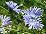 Chicory Beautiful Light Blue Perennial Wildflowers Seeds (4 Million or 10 Lb Seeds)