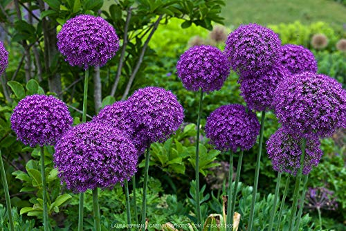Seeds - 50+ Giant Purple GLOBEMASTER Allium Seeds, US Seller - TricaStore
