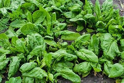 100 Spinach Seeds - Bloomsdale Heirloom Spinacia Oleracea - by RDR Seeds